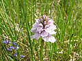 Orchid in Glen Sligachan - geograph.org.uk - 183008.jpg