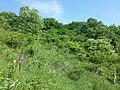 Orchis purpurea sl19.jpg
