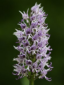 Orchis simia (spike).jpg