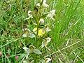 Orchis verdâtre Saint-Laurent-sur-Manoire (3).JPG