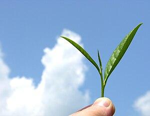 Lahijan - Tea plant.