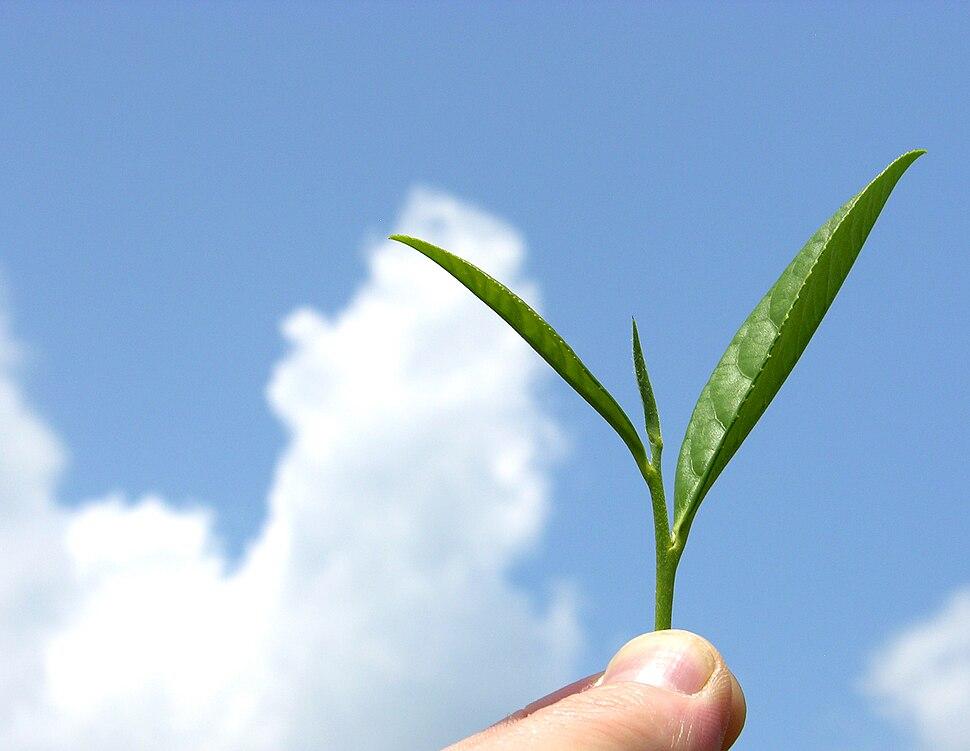 Organic mountain grown tea leaf