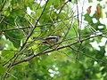 Oriental Magpie Robin - Copsychus saularis - P1040252.jpg