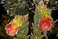 Orothamnus zeyheri 5Dsr 8406.jpg