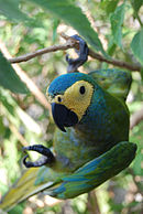 A green parrot with a light-yellow face, a blue forehead and blue speckles across the body
