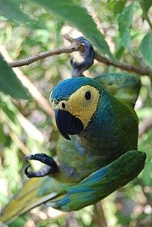 Red-bellied macaw species of bird