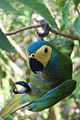 Orthopsittaca manilata -Brazil-6.jpg