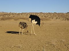 Ostriches Kgalagadi Transfrontier Park.jpeg