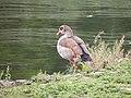 Ouette d'Égypte (Alopochen aegyptiaca) (2).jpg