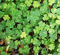 Oxalis acetosella Finland.jpg