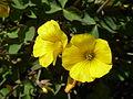 Oxalis valdiviensis 'Chilean Yellow Sorrel' (Oxalidaceae) flower.JPG