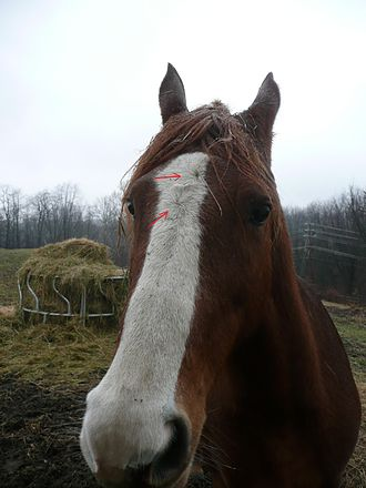 Hair whorl - This horse has an example of two vertical whorls.