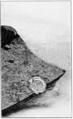 PSM V73 D117 Fossil land snail vitrea fagalis.png