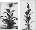 PSM V77 D356 Parent strains of tobacco plants selected for cross hybridization.png