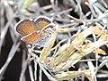 PYGMY-BLUE, WESTERN (Brephidium exile) (11-22-2014) las cienegas national conservation area, pima county, az -02 (15853918132).jpg