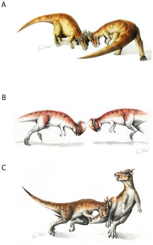 Pachycephalosauria - Hypothetical examples of pachycephalosaur combat behavior, varying per species: Pachycephalosaurus (A), Prenocephale (B), Stygimoloch (C).