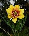 Paeonia lutea 2015-06-20 3163.jpg