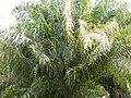 Palma de Coroba.JPG