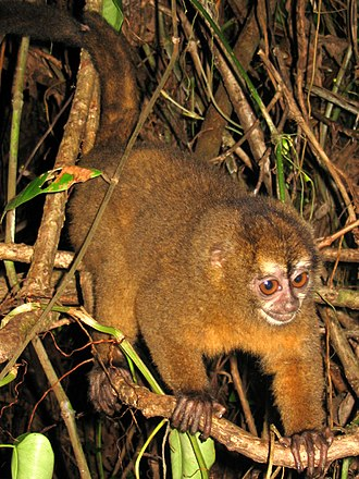 Night monkey - Image: Panamanian night monkey