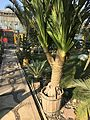 Pandanus at Cairo by Hatem Moushir 1.jpg