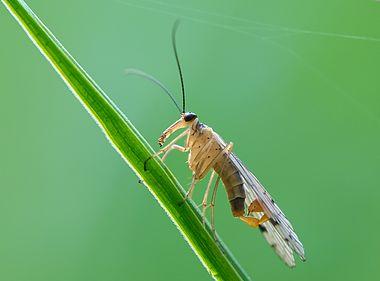 Male Panorpa alpina scorpionfly