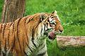 Panthera tigris at the Bronx Zoo 012.jpg