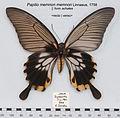 PapilioMemnonFemAchatesJavaUpUnAC1.jpg