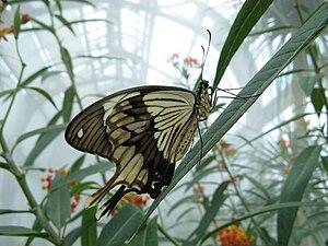 Papilio dardanus - Image: Papilio dardanus v