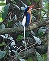 Paradise Kingfisher (32116785905).jpg