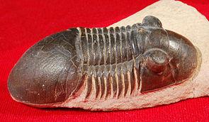 Paralejurus sp. aus Alnif, Marokko (Länge: 7 cm)