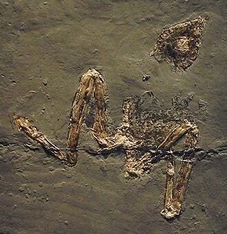 Potoo - Paraprefica major fossil