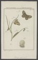 Pararge - Print - Iconographia Zoologica - Special Collections University of Amsterdam - UBAINV0274 003 01 0008.tif