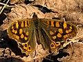 Pararge aegeria * Mariposa de los muros (6922022189).jpg