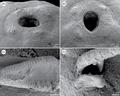Parasite170008-fig4 - Philometra rara Moravec et al., 2017 - SEM.png