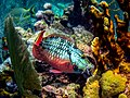 Parrot fish on coral reefs (27324293082).jpg