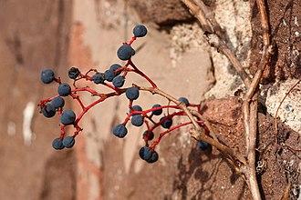 Parthenocissus quinquefolia - Image: Parthenocissus quinquefolia on wall, November 1, 2008