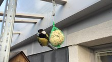 Fișier:Parus major eating tallow ball.webm
