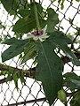 Passiflora morifolia - D8-04-7204.jpg
