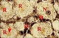 Patte de Mastophora mâle 2.jpg