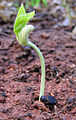 Pea seed germinating.jpg