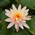 Peach Glow water-lily at Brooklyn Botanic Garden.jpg