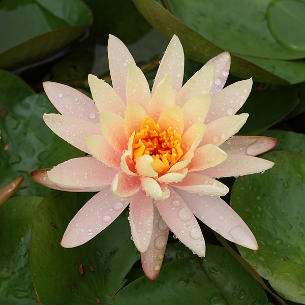 File:Peach Glow water-lily at Brooklyn  Botanic Garden.jpg