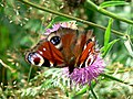 Peacock butterfly - geograph.org.uk - 923697.jpg
