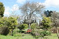 Pear Tree. Genadendal.JPG