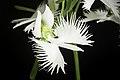 Pecteilis radiata fma. variegata '金星 - Kinboshi' (Thunb.) Raf., Fl. Tellur. 2 38 (1837) (50296144987).jpg