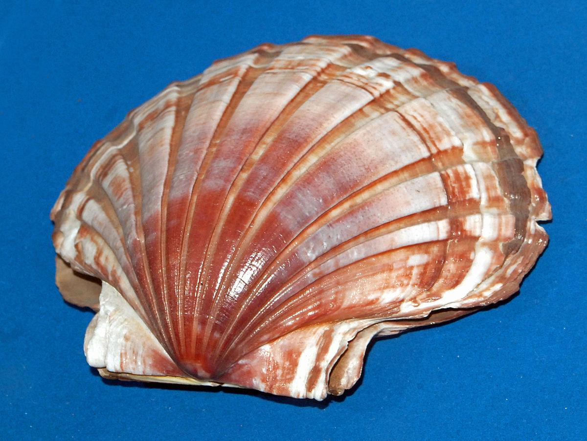 Cat S Paw Shell Description