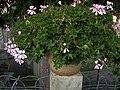 Pelargonium (DSCN0563).jpg