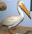 Pelecanus erythrorhynchos (American white pelican).jpg