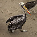 Pelicano peruano - Pelecanus thagus2.jpg