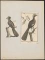 Penelope jacucaca - - Print - Iconographia Zoologica - Special Collections University of Amsterdam - UBA01 IZ16900131.tif